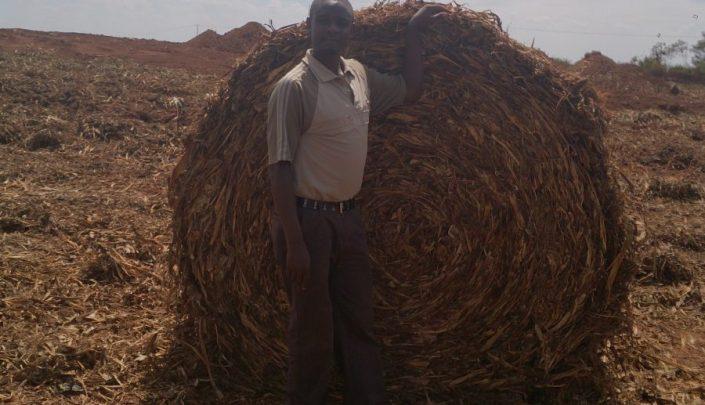 Pineapple waste in bales
