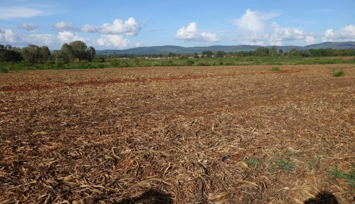 Field with dry pineapple waste before baling