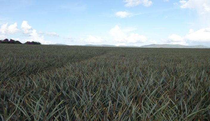 Pineapple plantation in Kenya – All waste can be utilized for briquettes